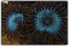 Electric Blue Zoanthids
