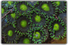 Green Eyed Blue Gunmetal Zoanthids