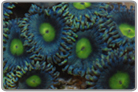 Alien Eye Zoanthids