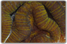 Yellow and Green Striped Lobo Brain Coral