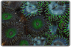 Tri-Color Ricordea and Zoanthids Rock