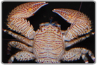 Striped Porcelain Crab