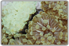 Golden Short Tentacle Torch Coral