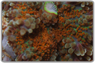 Orange Center Ricordea Yuma Rock - 6+ Polyps
