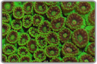 Super Green Cup Coral - Cultured