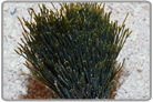Shaving Brush Plant