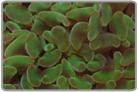 Totally Green Wall Hammer Coral - Cultured