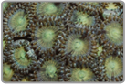 Assorted Color Zoanthids - Caribbean Collected
