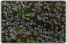 Purple Tip Metallic Green Wall Frogspawn