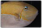 Gold Back Triggerfish