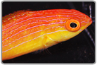 Rosy Fin Flame Wrasse - Juvenile