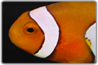 True Percula Clownfish- Captive Bred