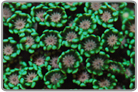 Metallic Green Daisy Coral
