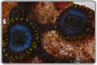 Blue Hornet and Electric Blue Halo Zoa's