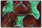 Red Flat Brain Coral