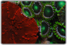 Flame Red Mushrooms and Dragon Eye Zoanthids