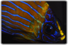 Blue Line Angelfish - Changing