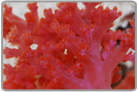 Red Silk Coral