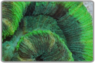 Two Tone Green Open Brain Coral