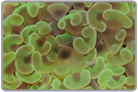 Green Hammer Coral