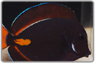 Pearl-Eye Clarkii Clownfish - Tank Raised