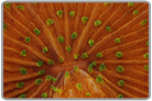 Sunset Orange Plate Coral