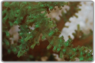 Green Tree Soft Coral - Cultured