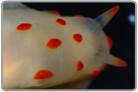 Orange Spot Sea Slug
