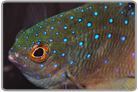 Pacific Jewel Damselfish