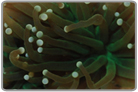 Green Torch Coral