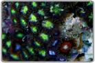 Neon Green Center Zoanthids