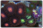Orange Eye Zoanthids