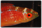 Sunset Fairy Wrasse - Male