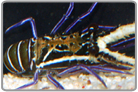 Little Blue Reef Lobster