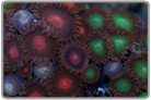 Red Eye and Green Zoanthids