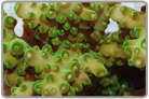 Bushy Acropora - Cultured