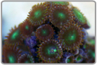 Green Centered Button Polyps