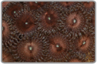 AOG Zoanthids