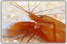 Red-legged Pistol Shrimp