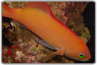 Ignitus Anthias - Male