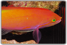 Carberry Anthias