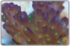 TriColor Acro Coral - Cultured