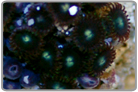 Green Eyed Zoanthids
