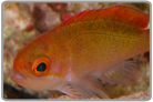 Red Fairy Anthias