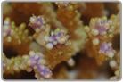 Tri-Color Acropora Coral - Fiji Collected