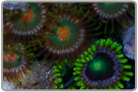 Orange Eye and Green Eye Zoanthids
