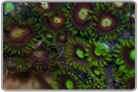 Neon Green Eye Orange Face Zoanthids