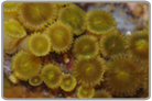 Yellow/Green Clover Zoanthids