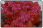 Red Soft Coral - Cultured