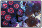 Metallic Hot Pink Zoanthids